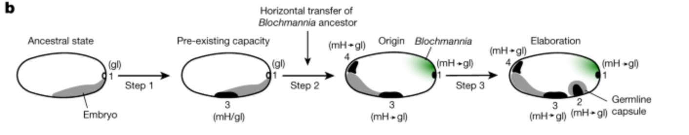 Navrhované kroky při vzniku a zpracování vývojové integrace mezi Blochmannia a Camponotini. Zdroj:
